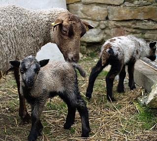 Shetlandské ovce