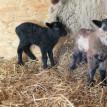 Stádo našich shetlandských oveček se utěšeně rozrostlo.... -