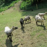 S příchodem jara jsme opět stříhali ovečky... - Stříhání shetlandských ovcí